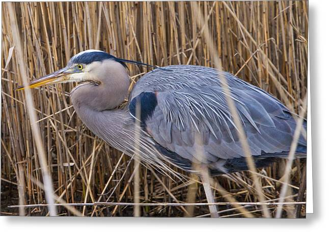 Stalking Fish In The Reeds Greeting Card by Allan Levin
