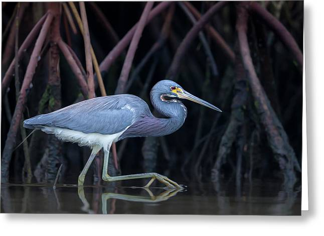 Stalking In The Mangroves Greeting Card by Greg Barsh
