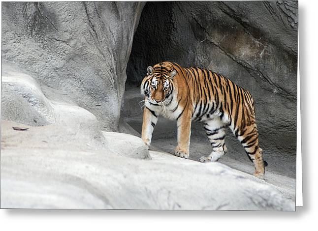Stalking Tiger Greeting Card by Ginger Harris
