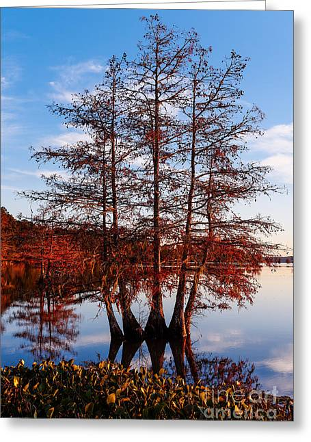 Stand Of Bald Cypress Trees At Ba Steinhagen Lake In Martin Dies Jr State Park - Jasper East Texas Greeting Card by Silvio Ligutti