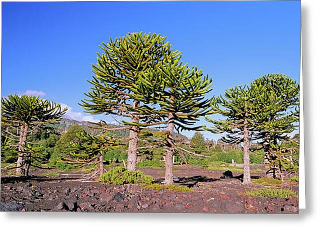 Stand Of Monkey Puzzle Trees (araucaria Greeting Card by Martin Zwick