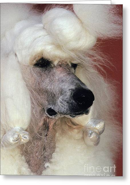 Standard Poodle Groomed For A Dog Show Greeting Card by Ron Sanford