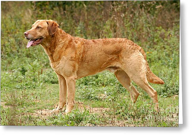 Standing Chesapeake Bay Retriever Dog Greeting Card by Dog Photos