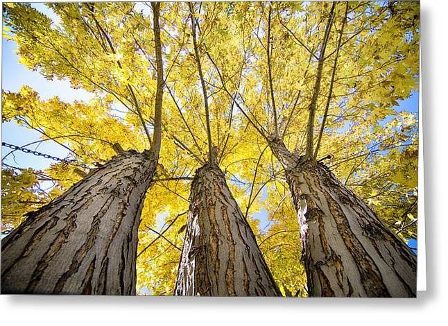 Standing Tall Autumn Maple Greeting Card