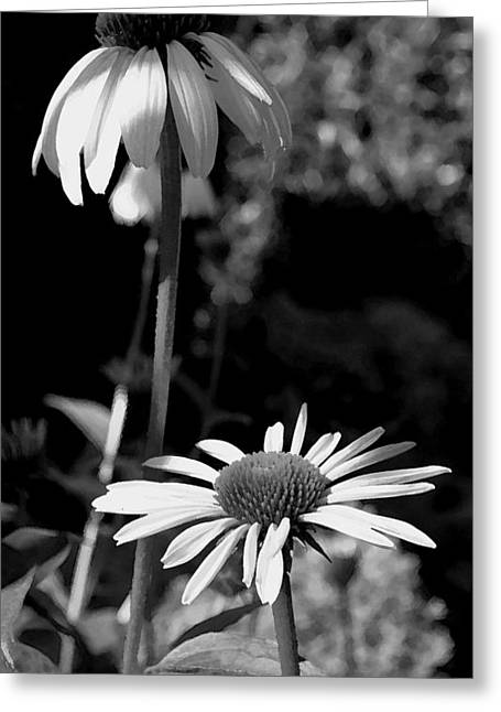 Greeting Card featuring the photograph Coneflowers Standing Tall   by James C Thomas