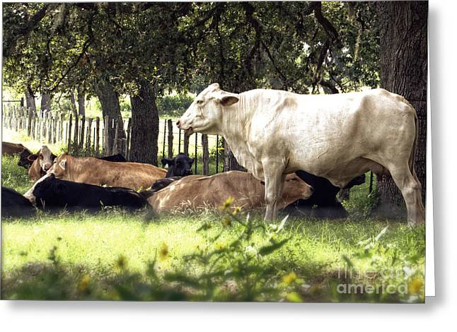 Standing Watch Cattle Photographic Art Print Greeting Card by Ella Kaye Dickey