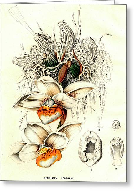 Stanhopea Ecornuta Orchid Greeting Card by Collection Abecasis