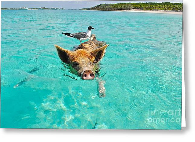 Staniel Cay Swimming Pig Seagull Fish Exumas Greeting Card