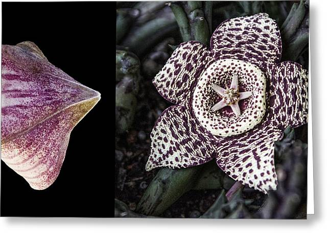 Greeting Card featuring the digital art Stapelia Bud And Blossom by Photographic Art by Russel Ray Photos