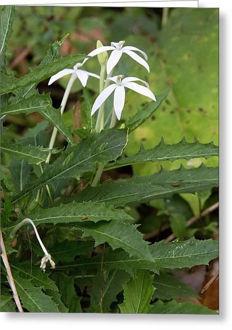 Star Flower (hippobroma Longiflora) Greeting Card by Bob Gibbons