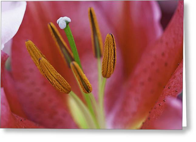 Star Gazer Lilly Macro Greeting Card by Lesley Rigg