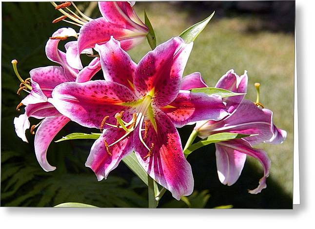 Star Lily In Blazing Color Greeting Card