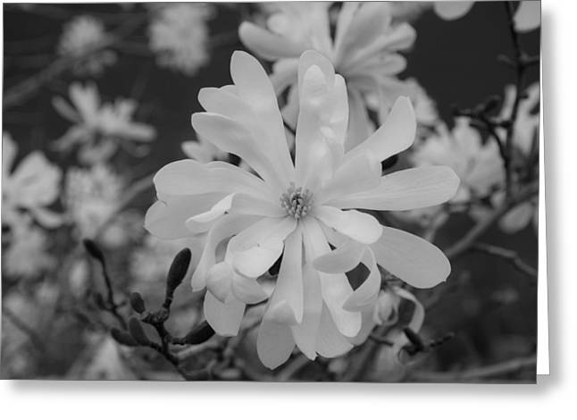 Star Magnolia Monochrome Greeting Card by Priyanka Ravi