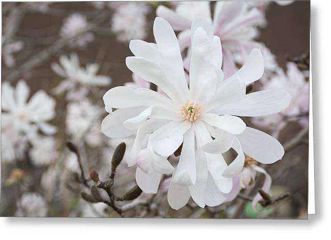 Star Magnolia Soft Greeting Card by Priyanka Ravi