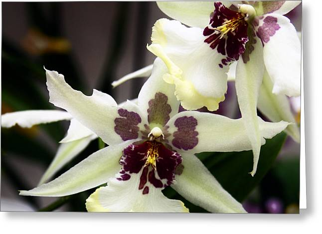 Star Orchids Greeting Card by William Dey
