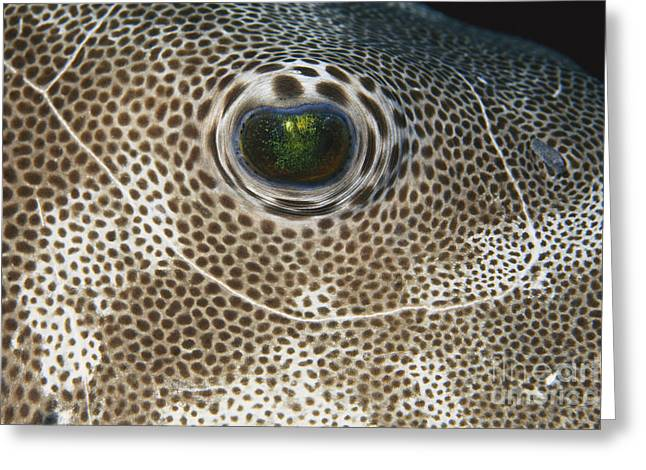 Star Puffer Greeting Card by F Stuart Westmorland