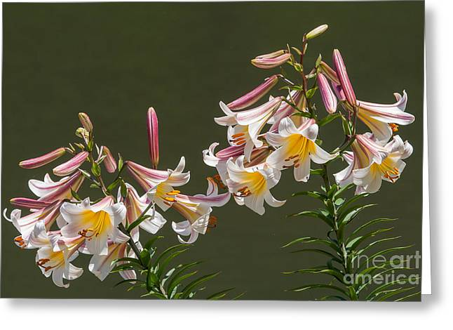 Greeting Card featuring the photograph Stargazer Lilies by Dale Nelson