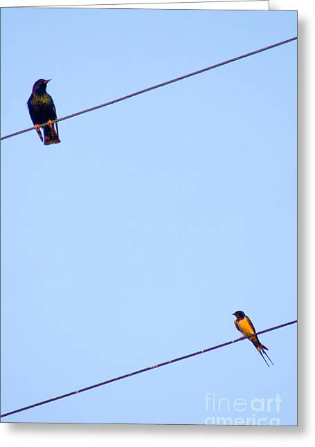 Starling And Swallow Greeting Card by Tim Holt