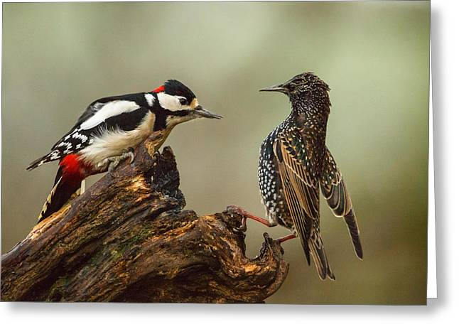 Starling And Woodpecker Stand Off Greeting Card