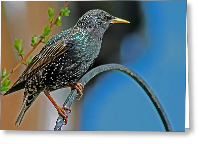 Starling Perched In Garden Greeting Card