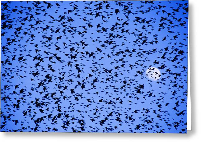 Starlings And The Moon Greeting Card