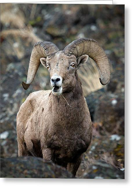 Startled Ram Greeting Card by Steve McKinzie