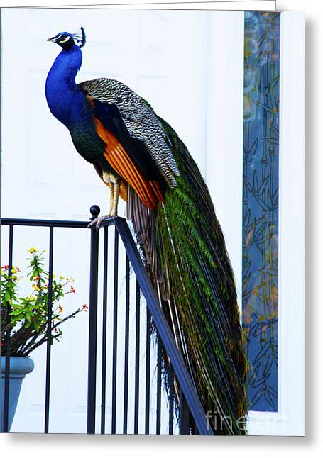 Stately Peacock Greeting Card by Joan McArthur