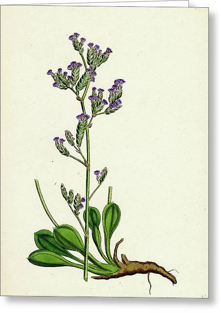Statice Binervosa Var. Dodartii Lesser Sea-lavender Var Greeting Card