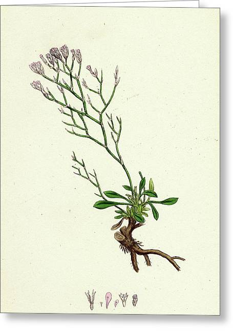 Statice Caspia Matted Sea-lavender Greeting Card