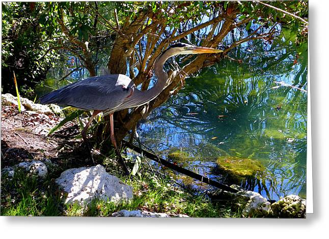 Stealthy Great Blue Heron Greeting Card by Judy Wanamaker