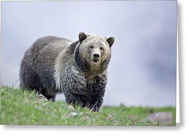 Steamboat Grizzly Greeting Card