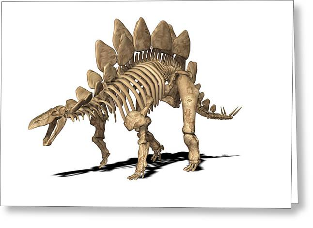 Stegosaurus Skeleton Greeting Card by Friedrich Saurer