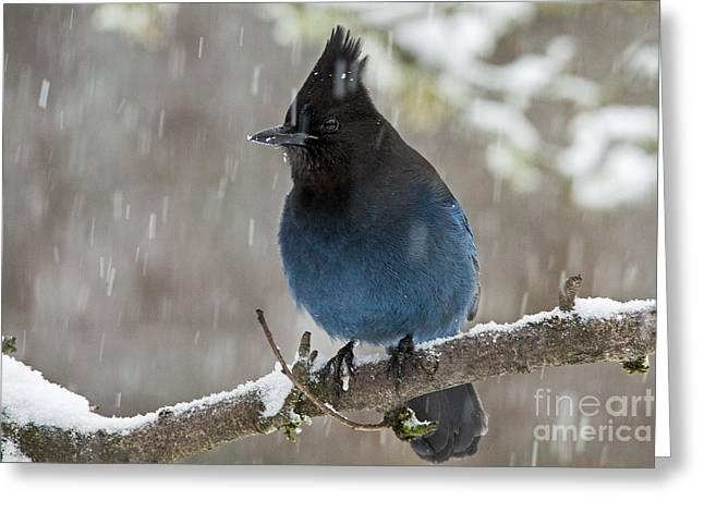 Stellar Jay In Snow Greeting Card by Inge Riis McDonald