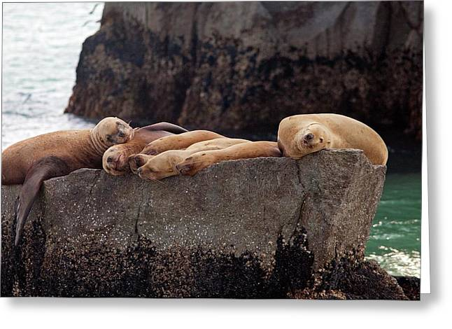 Steller Sea Lions Greeting Card by Jim West