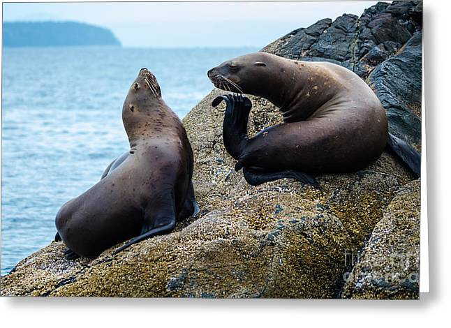 Steller Sea Lions Greeting Card by Melody Watson