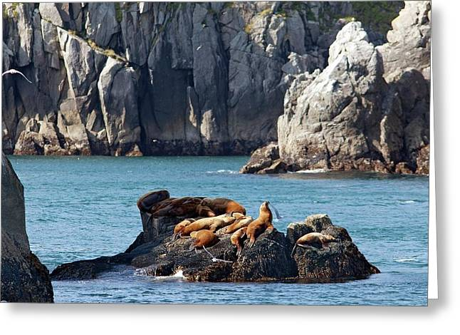 Steller Sea Lions On Coastal Rocks Greeting Card by Jim West