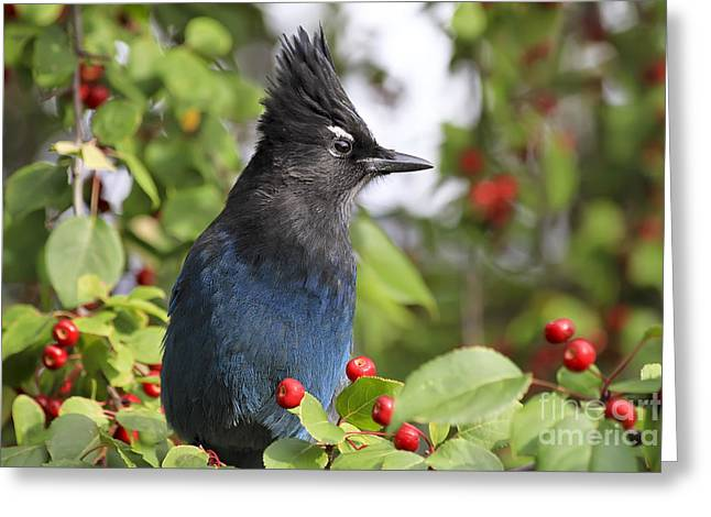 Steller's Jay And Red Berries Greeting Card by Teresa Zieba