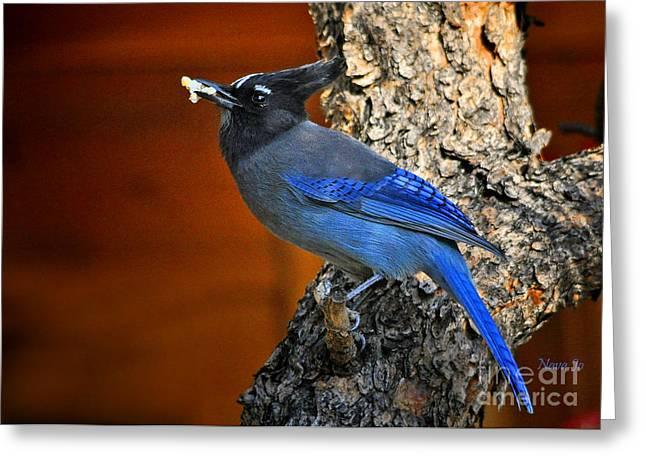 Steller's Jay In Colorado Greeting Card by Nava Thompson