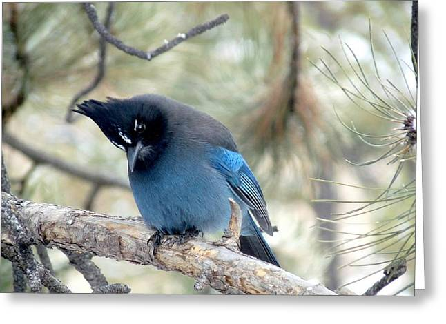 Steller's Jay Looking Down Greeting Card