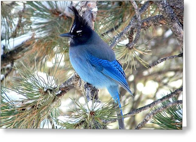 Steller's Jay Profile Greeting Card