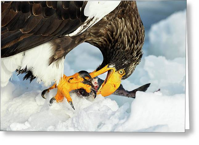Steller's Sea Eagle Greeting Card by Dr P. Marazzi