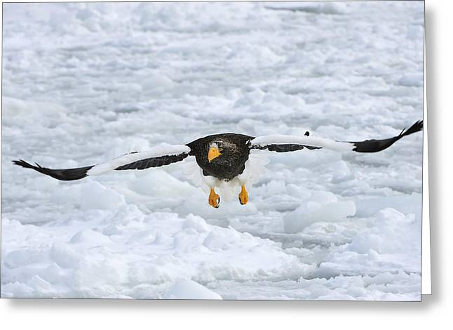 Stellers Sea Eagle Flying Hokkaido Japan Greeting Card