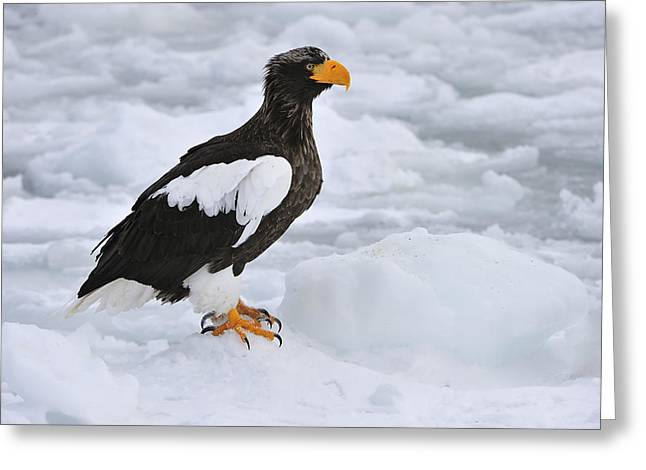 Stellers Sea Eagle Hokkaido Japan Greeting Card