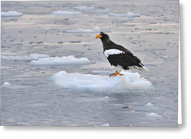 Stellers Sea Eagle On Ice Floe Hokkaido Greeting Card