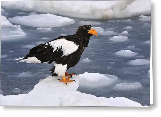 Stellers Sea Eagle On Ice Hokkaido Japan Greeting Card by Thomas Marent