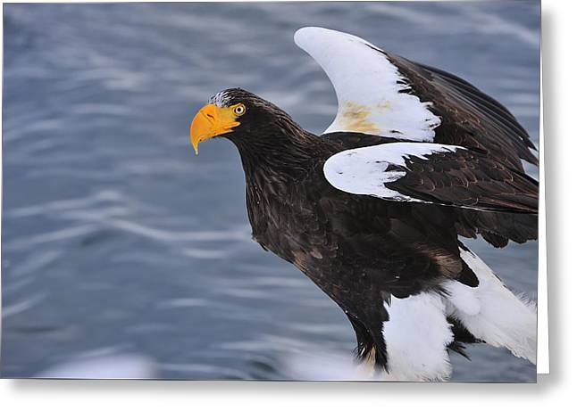 Stellers Sea Eagle Taking Flight Greeting Card
