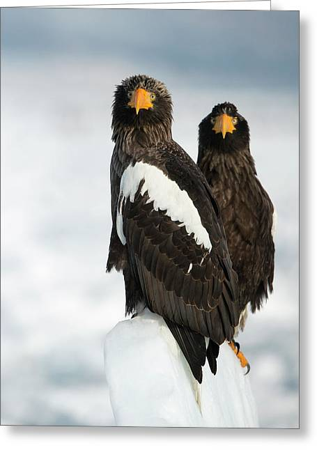 Steller's Sea Eagles Greeting Card by Dr P. Marazzi