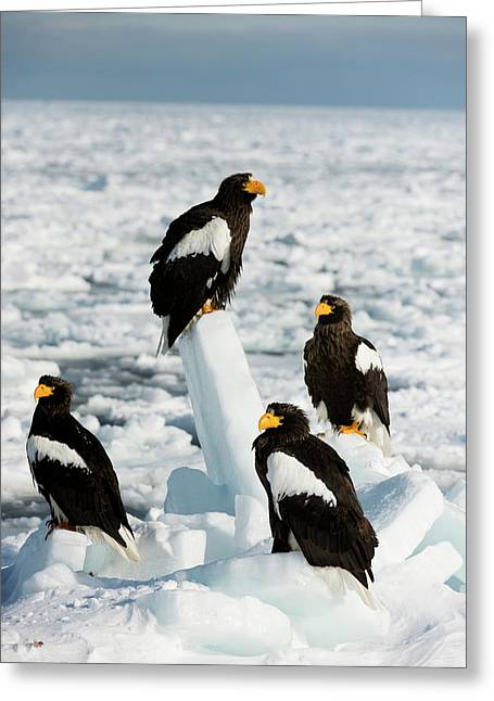 Steller's Sea Eagles On Sea Ice Greeting Card