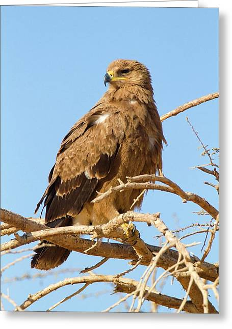 Steppe Eagle (aquila Nipalensis) Greeting Card by Photostock-israel