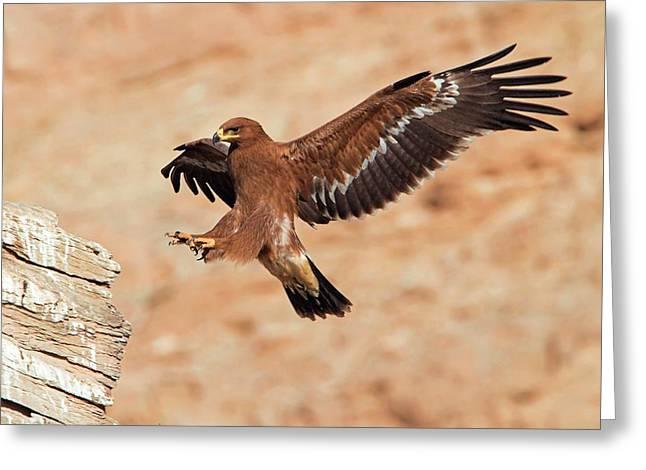 Steppe Eagle Landing Greeting Card